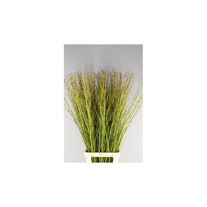 <h4>Cornus Flaviramea Geel/groen</h4>