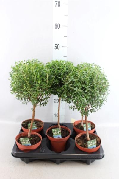 <h4>Myrtus communis</h4>