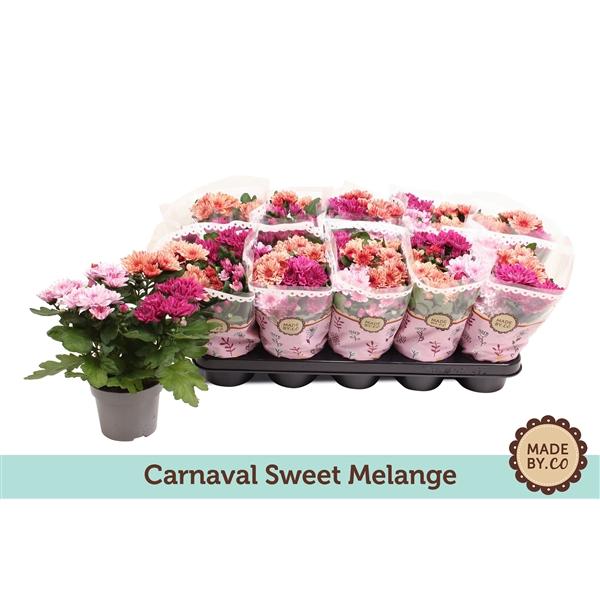 <h4>Chrysanthemum Mount Aubisque carnaval</h4>