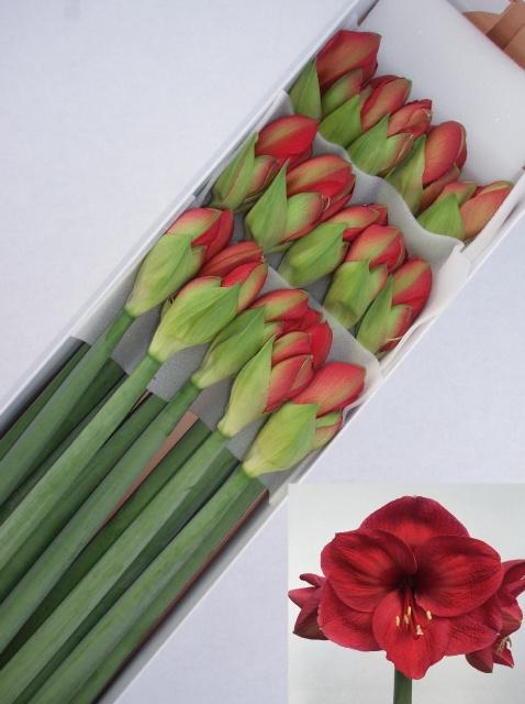 <h4>Amaryllis Lilac Favoriet</h4>