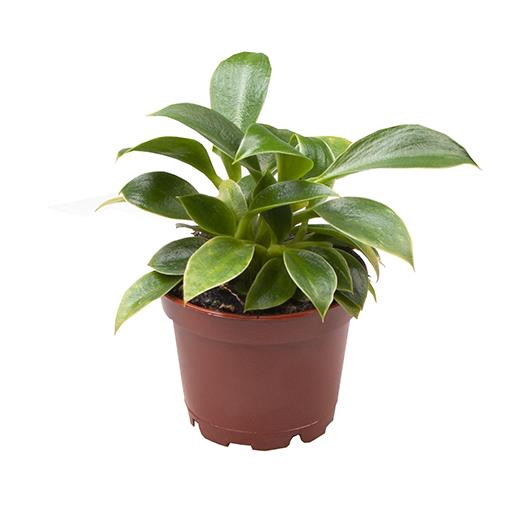 <h4>Philodendron Green Princess Ø6 12cm</h4>