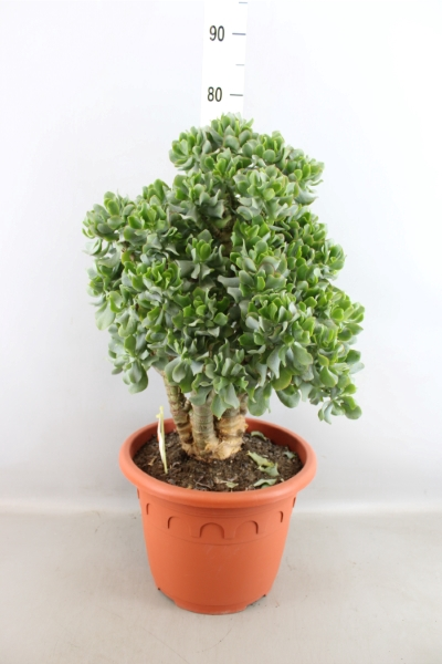 <h4>Crassula arborescens subsp. undilat</h4>