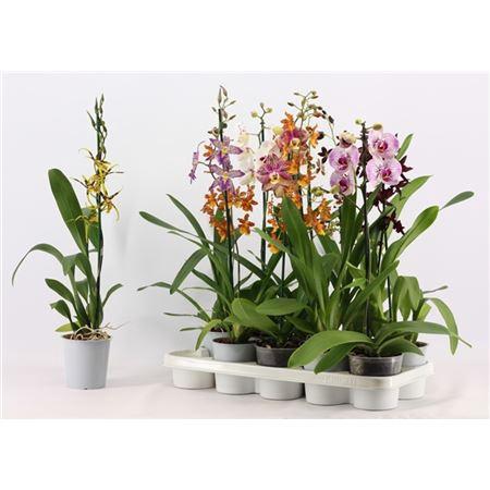 <h4>Orchideeën 1 Tak Mix Zonder Phalaenopsis</h4>
