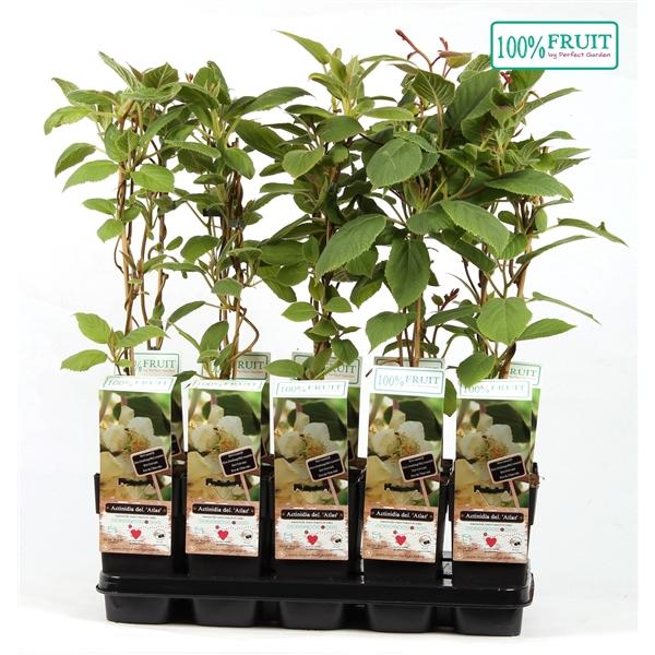 <h4>Actinidia chinensis atlas - Male - 100%FRUIT</h4>