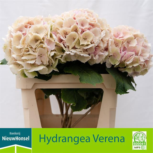 <h4>HYDR M VERENA CL</h4>