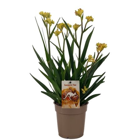 <h4>Anigozanthos Beauty Yellow®</h4>