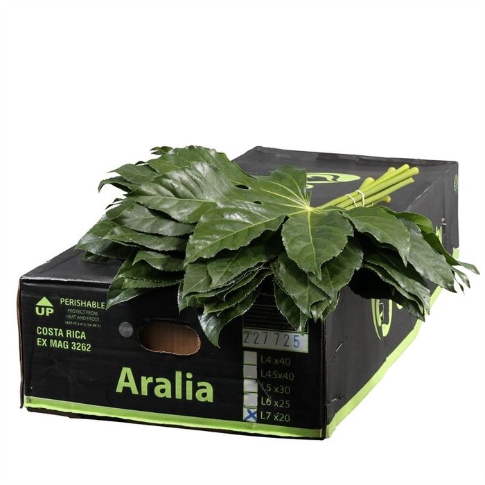 <h4>Aralia CR Gr. Beauty</h4>