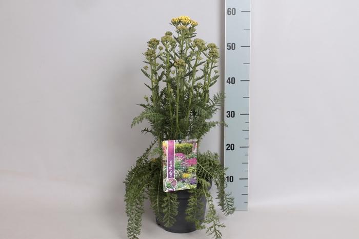 vaste planten 19 cm  Achillea Sunny Seduction