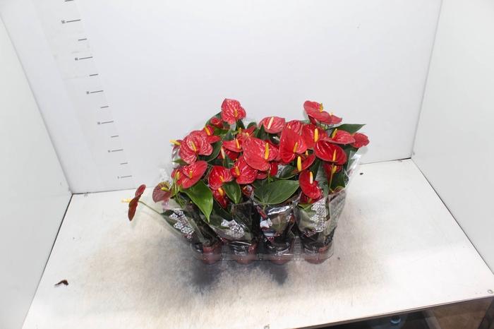 <h4>ANTHURIUM RED SUCCESS P09</h4>