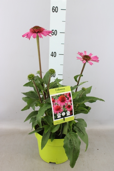 <h4>Echinacea  'Delicious Candy'</h4>