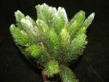 <h4>Greens - Aspalatus</h4>