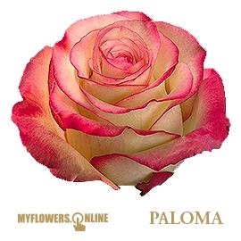<h4>R Gr Paloma Bicolor 60cm EC</h4>