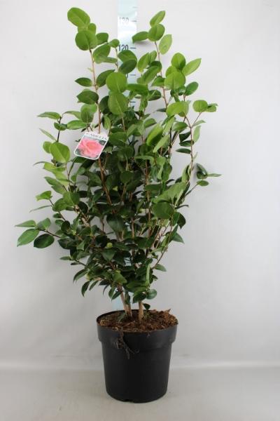<h4>Camellia japonica 'MathotianaRosea'</h4>