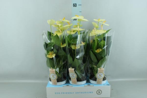 <h4>Anthurium andr. 'Vanilla'</h4>