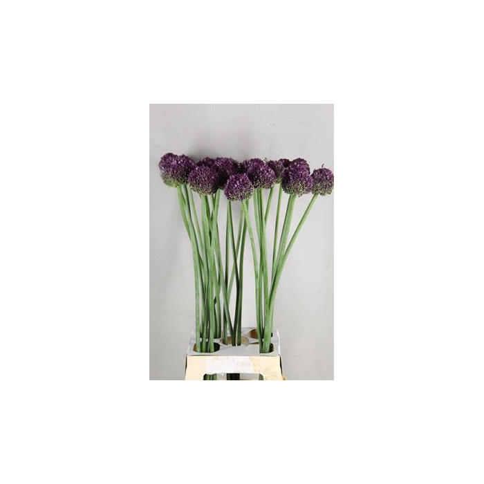 <h4>Allium Lilac Dome</h4>