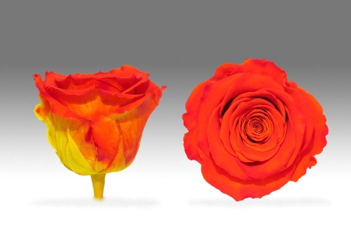 <h4>Rose stab. LL bic-03</h4>