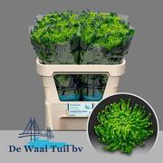 Chrysanthemum monoflor anastasia verde