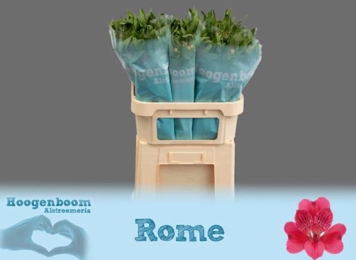 <h4>Alstroemeria Rome</h4>