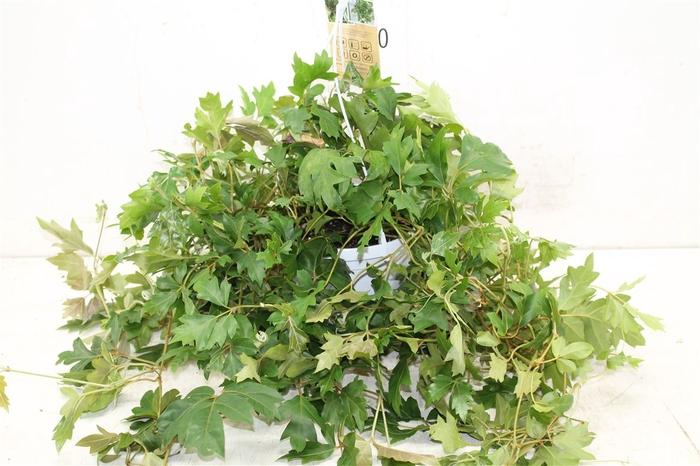 <h4>Cissus Rhombifolia 'ellen Danica'</h4>
