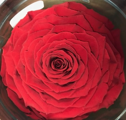<h4>Rose stab. XXL Red-02</h4>