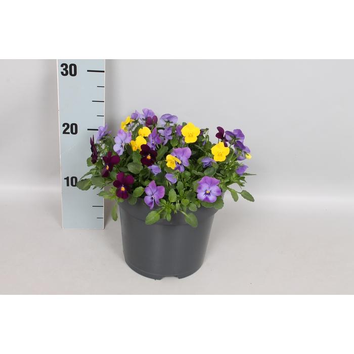 <h4>Viola cornuta 19 cm mix Blue, violet, yellow</h4>