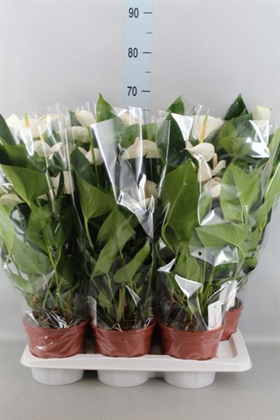 <h4>Anthurium andr. 'White Winner'</h4>