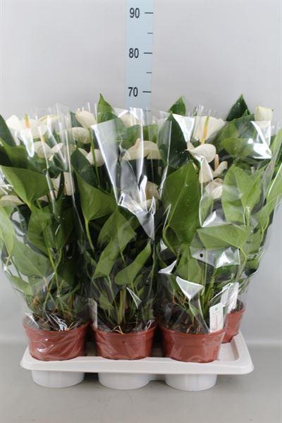 <h4>Anthurium andr. 'White Winner'</h4>