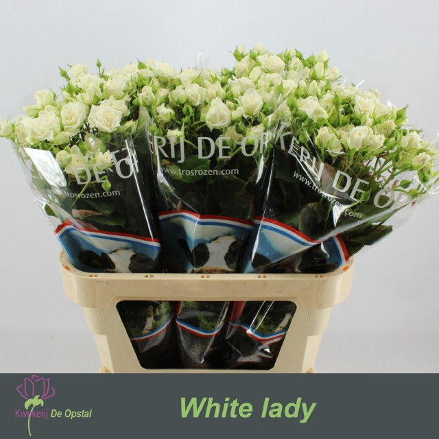 <h4>R TR WHITE LADY</h4>