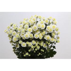 Chrysanthemum spray stallium blanca
