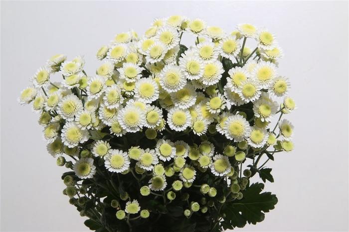 <h4>Chrysanthemum spray stallium blanca</h4>