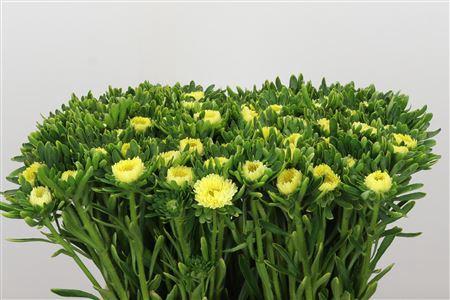 <h4>Callis Yellow Matsumoto</h4>