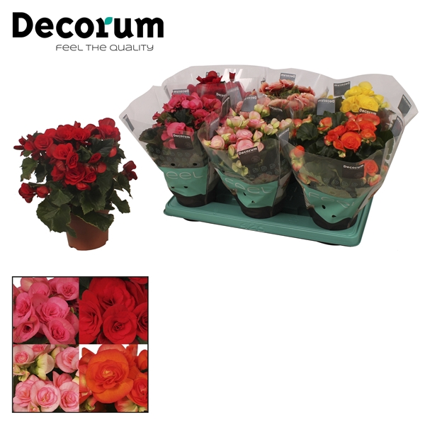 <h4>Begonia 13cm mix in tray(5 kleuren)</h4>