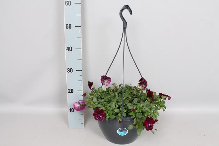 Hangpotten 27 waterreservoir Viola Coolwave Raspberry