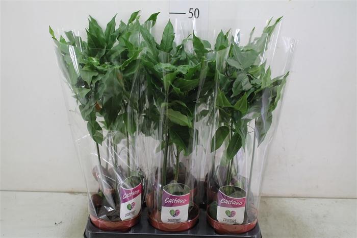 <h4>Castanospermum</h4>