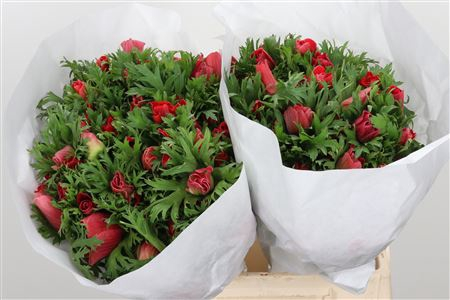 <h4>Anemone Ma Red</h4>