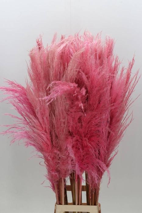<h4>Cortaderia Perfect Pink</h4>