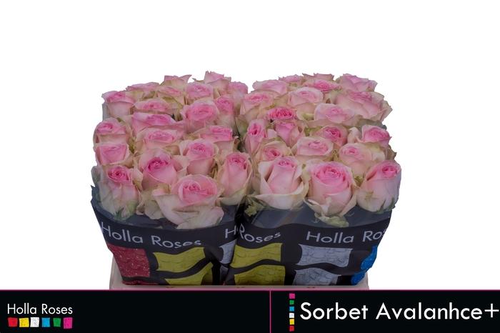 <h4>Rosa grootbloemig Avalanche Sorbet+</h4>