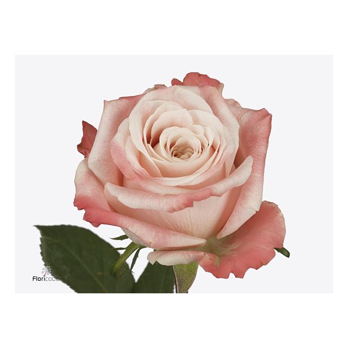 <h4>Rosa large flowered Yashika</h4>