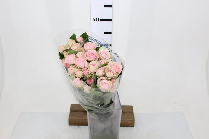 <h4>ROSA SPRAY PINK IRISCHKA 050 CM</h4>