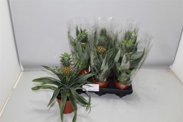 <h4>Ananas Corona Mi Amigo 12Ø 36cm</h4>