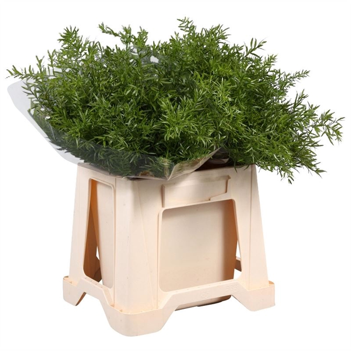 <h4>Asparagus dens. Cwebe</h4>