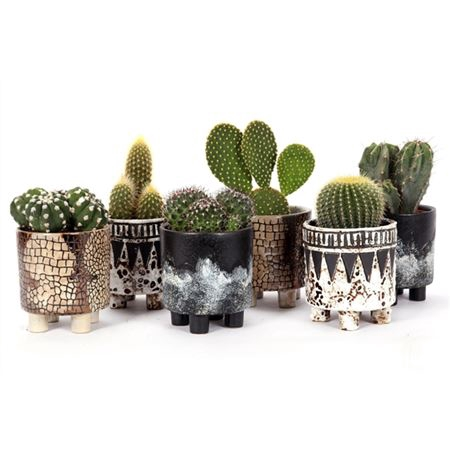 <h4>Cactus Umlazi 8,5 Cm</h4>