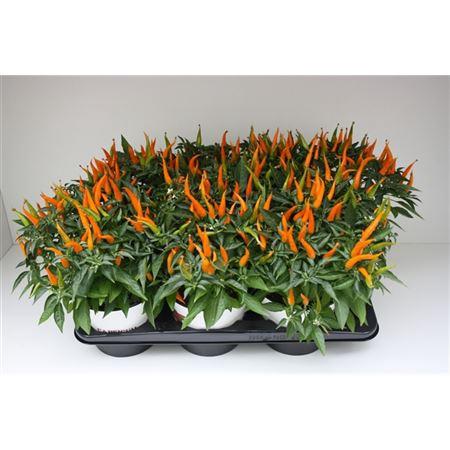 <h4>Capsicum Sombrero Santos Oranje</h4>