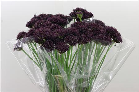 <h4>Allium Atropurpureum Dark Purple</h4>