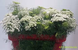 <h4>Ammi Majus (Lace Flower) (p/bunch)</h4>