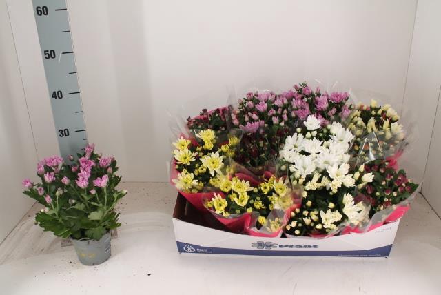 <h4>Chrysanthemum mixed 12Ø 25cm</h4>