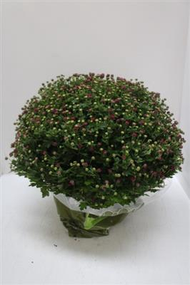 <h4>CHRYSANTEN XXL DARK !!!</h4>