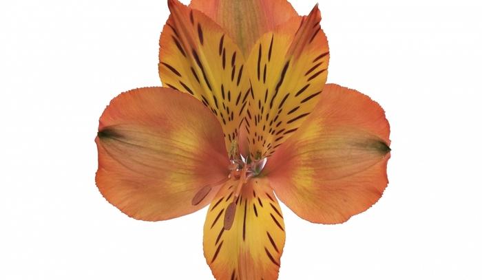 Alstroemeria naranja Fancy