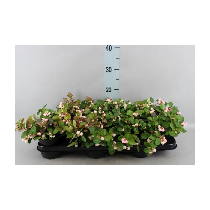 <h4>Gaultheria   ...white berry</h4>