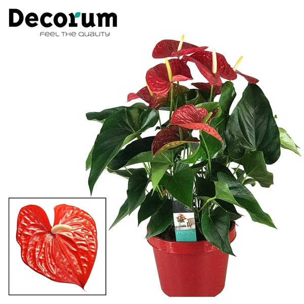 <h4>Anthurium Michigan pot 26 RODE POT</h4>